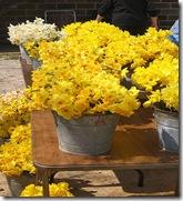 daffodilfestival